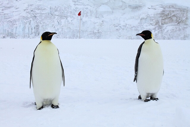 Antarctica: Emperor Penguins at Scott Base