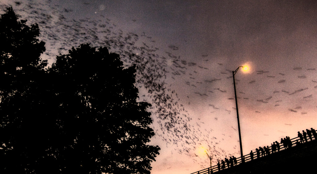 Austin bats fly out at dusk (courtesy Kenneth Hagemeyer at Flickr CC)