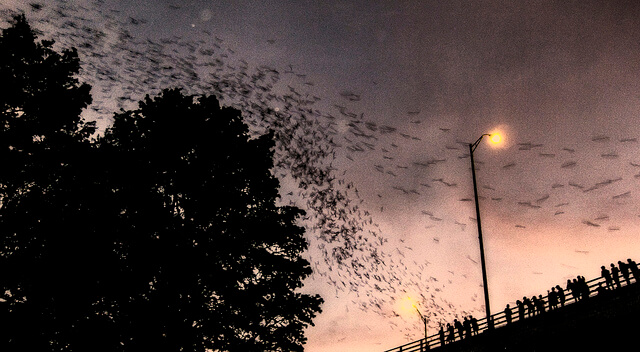 Austin bats fly out (courtesy Kenneth Hagemeyer at Flickr CC)