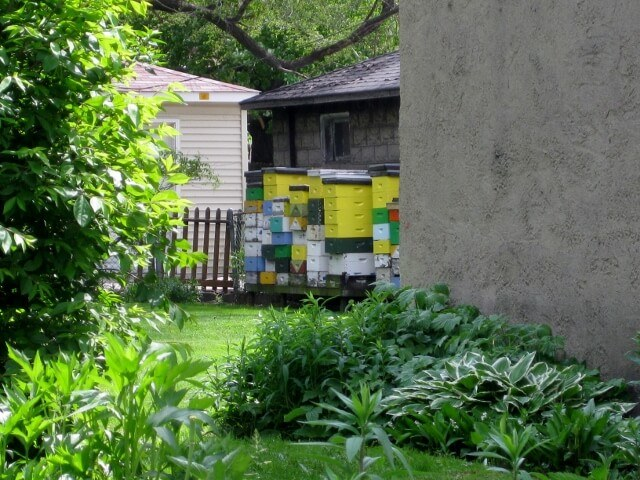 Beekeeping in a Pullman Historic District backyard, Chicago's Southland area (photo by Sheila Scarborough)