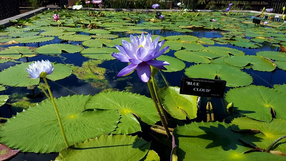 Blue Cloud lily at the International Water Lily Collection in San Angelo TX (photo by Sheila Scarborough)