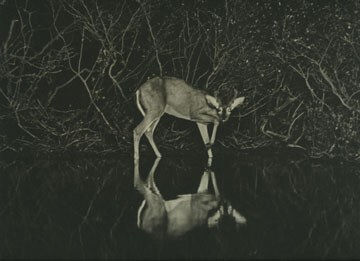 Deer Photographed at Night by Hobart Roberts