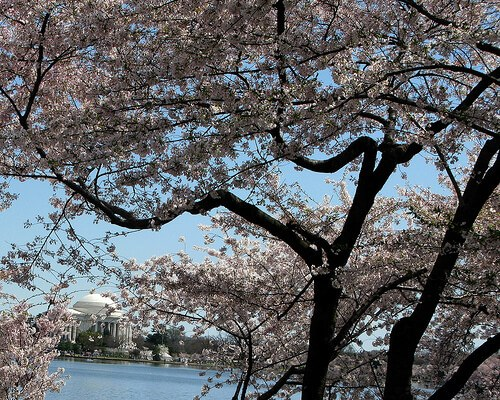 Cherry blossoms on the Tidal Basin, Washington DC (courtesy Laura Padgett on Flickr CC)