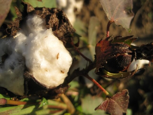 Cotton boll at Tallahatchie Flats in Mississippi (photo by Sheila Scarborough)