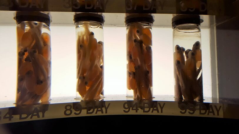 Fish development stages display Chinook salmon yoke-sac fry Ballard Locks Seattle (photo by Sheila Scarborough)