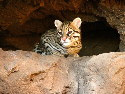 Ocelot at Arizona Sonora Desert Museum