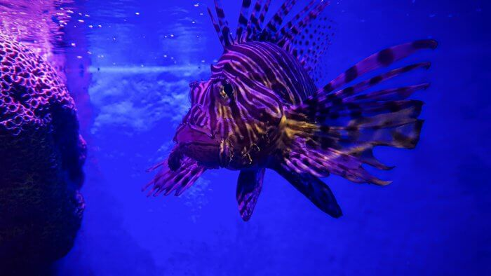 Lionfish at Sea Life