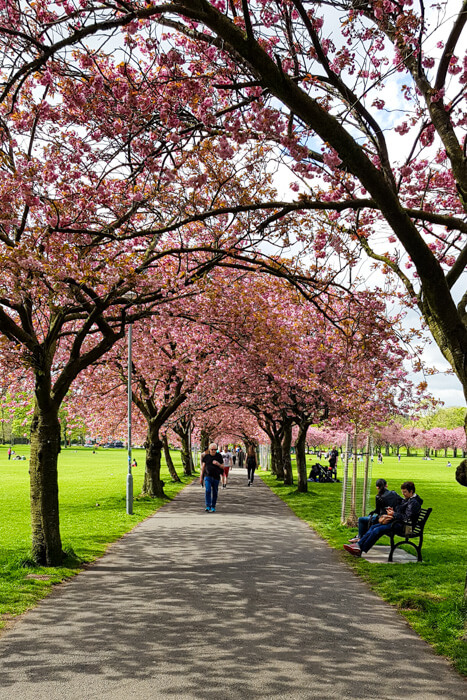 Meadows with Cherry Trees in Blossom #2