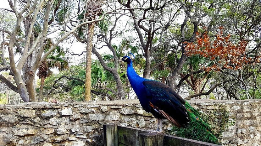Peacock at Mayfield Park and Nature Preserve Austin (photo by Sheila Scarborough)