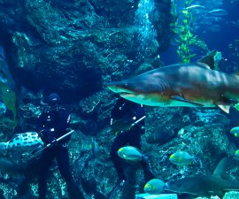 Shark Feeding at Sea Life Ocean World
