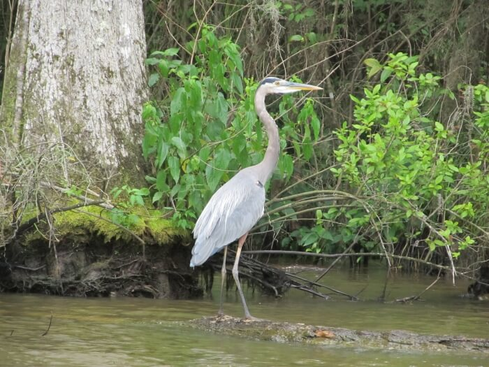 A Great Blue Heron on a Cajun Encounters Louisiana Swamp Tour