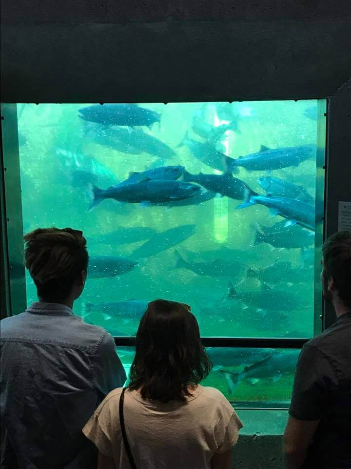 Sockeye salmon through viewing windows at Ballard Locks (courtesy Hiram M. Chittenden Locks Page on Facebook)