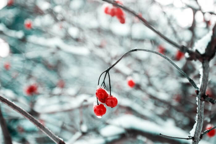 winter snow berries