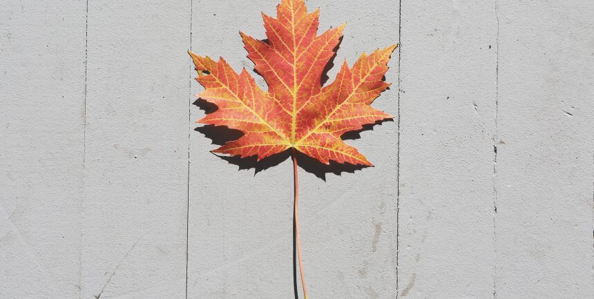 maple leaf autumn