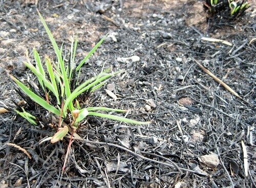 West Texas - grass returns after wildfire near Abilene (photo by Sheila Scarborough)