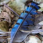 blue jay feather native american