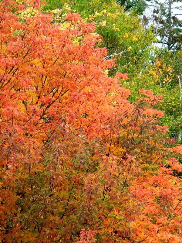 autumn leaves cape breton
