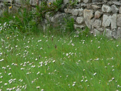 wild flowers and wall donegal ireland