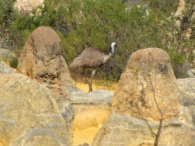 emu in the pinnacles