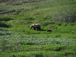 grizzly_bear_denali
