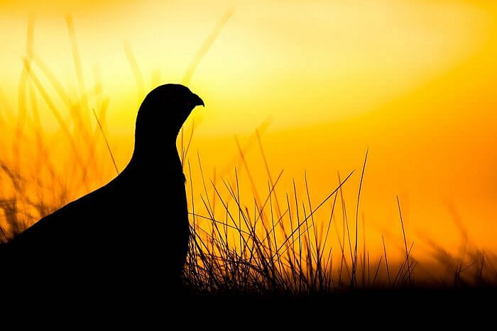 caercaille grouse celtic connections scotland