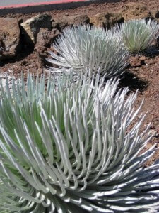 Haleakala Silversword on Maui (photo by Sheila Scarborough)