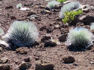 Haleakala Silversword plants, Maui (photo by Sheila Scarborough)
