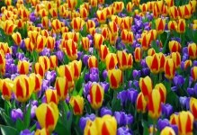 One of 100 varieties of tulips, Keukenhof Gardens, the Netherlands (courtesy Keukenhof Gardens)