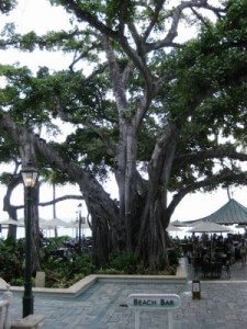 Moana Surfrider banyan tree and Beach Bar (photo by Sheila Scarborough)