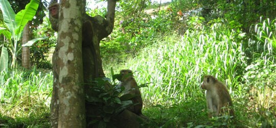 Monkeys in Kandy