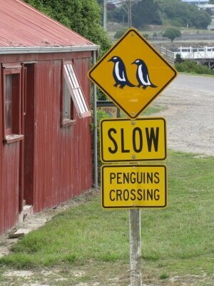 penguins_new_zealand_south_island_oamaru