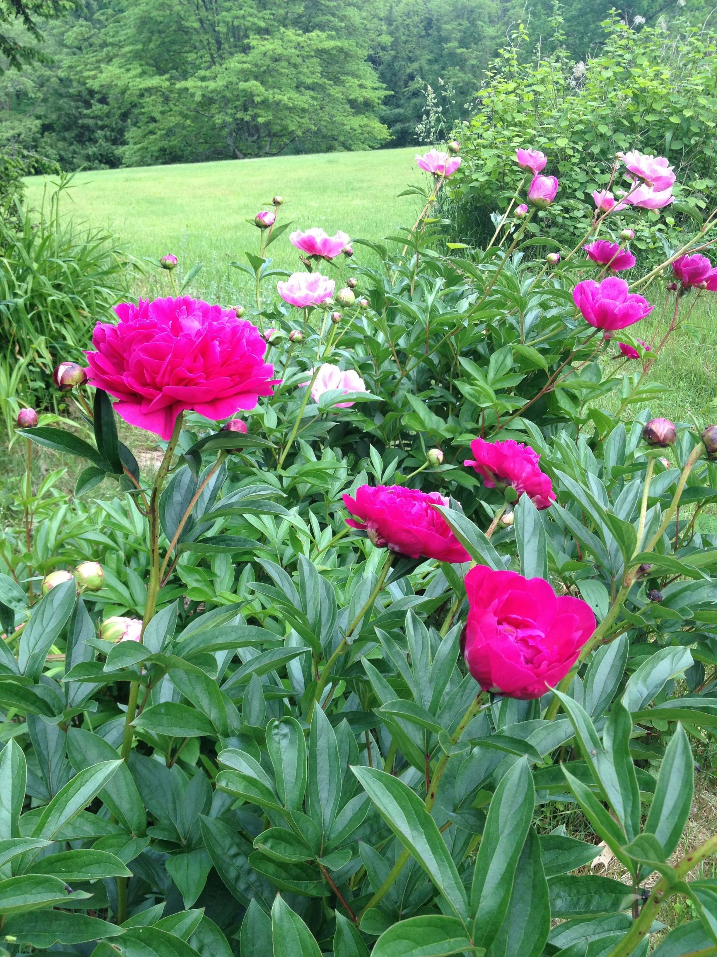 Peonies in Alison Wellner's garden