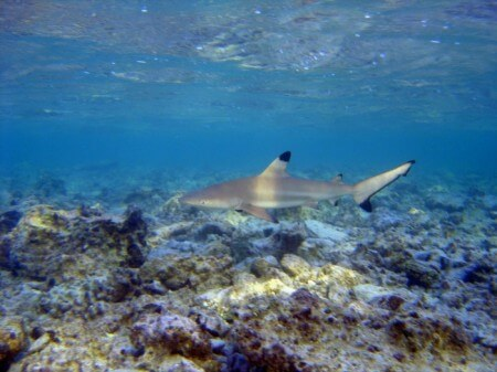 Black Tip Reef Shark. Photo by David Burdick for NOAA