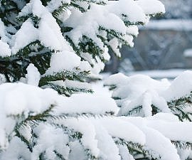 spruce in snow chirstmas eve