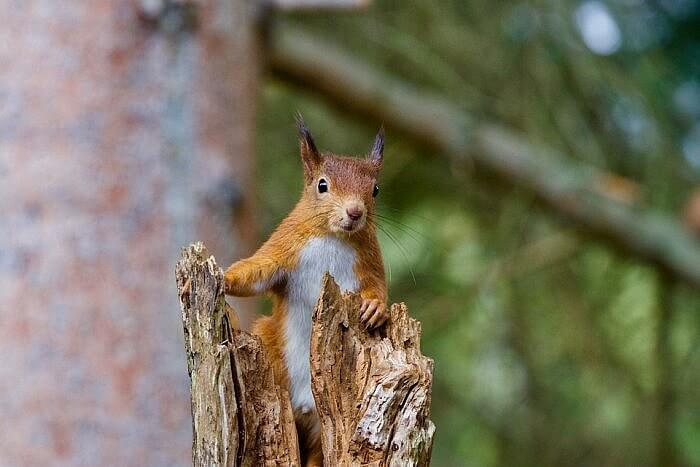 red squirrel scorland nadia tighe