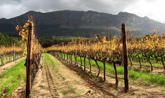 South Africa Vineyard