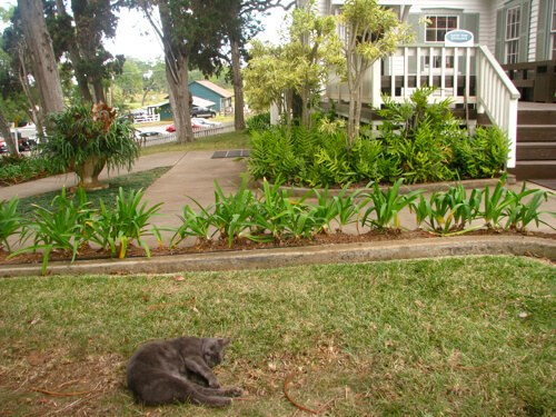 Cat sleeping at Tedeschi Winery, in Maui Hawaii